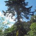 Kaceni ohrozujiciho stromu p6070169