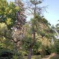 Odborne osetreni vzrostlych stromu a dalsich drevin na zahrad img 2566