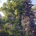 Odborne osetreni vzrostlych stromu a dalsich drevin na zahrad img 2579