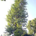 Odborne osetreni vzrostlych stromu a dalsich drevin na zahrad img 2583