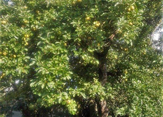 Prořez ovocných stromů
