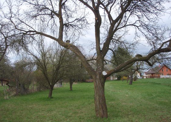 Prořezání / kácení ovocných stromů