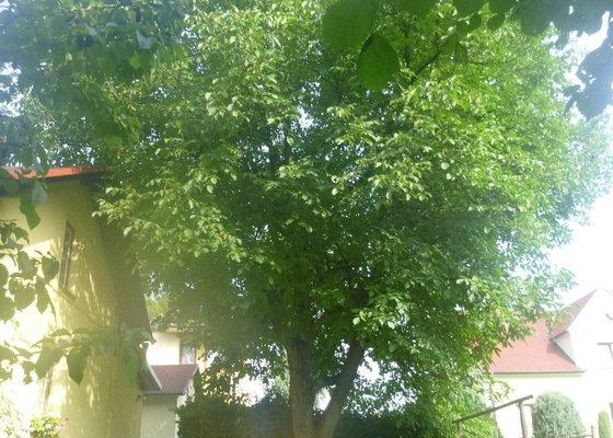 Prořez stromů
