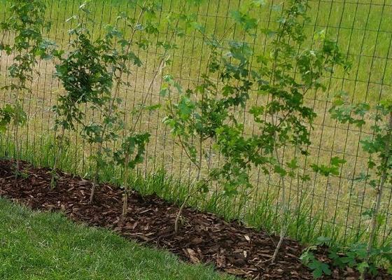 Vysadba ziveho plotu