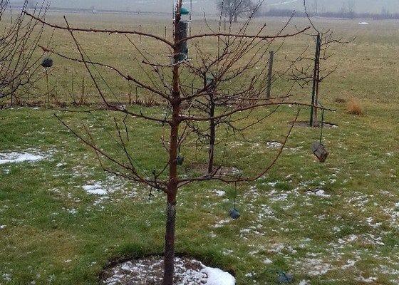 Prořezání ovocných stromů