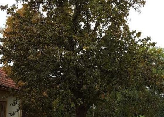 Prořez stromu - hrušeň