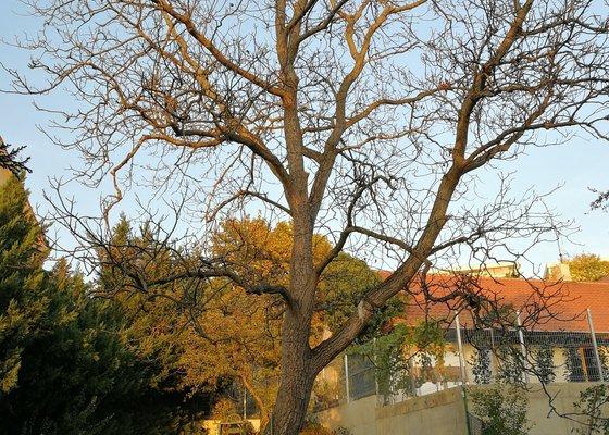Pokácení stromu (ořech)