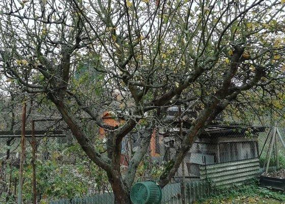 Radikální omlazení jabloní