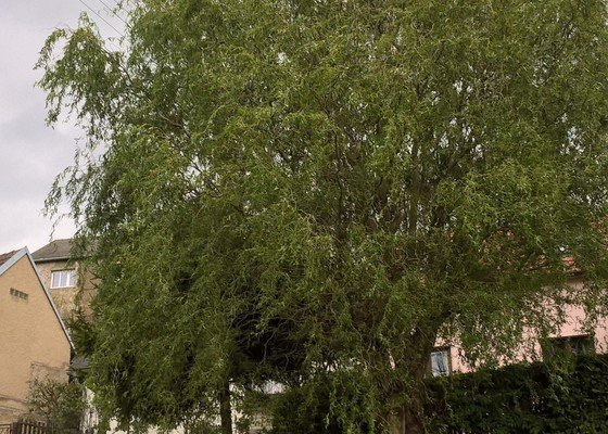 Ořezání vrby