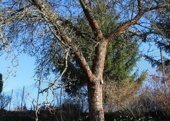 Prořezání ovocných stromů Pyšely