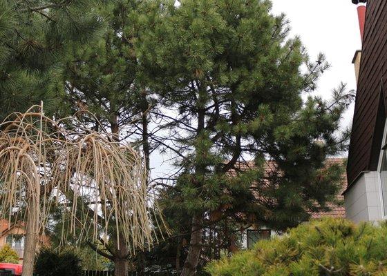 Pokácení vzrostlých stromů