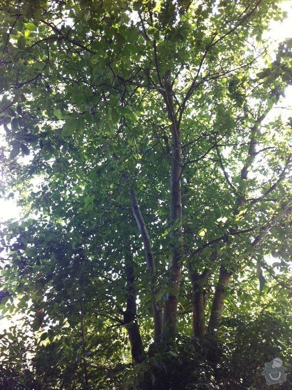 Kácení, prořez stromů: orech_2_2