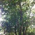Kaceni prorez stromu orech 2 2