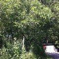 Kaceni prorez stromu orech1