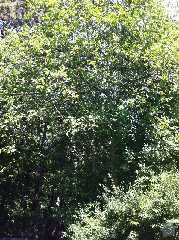Kácení, prořez stromů: orech2_1