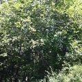Kaceni prorez stromu orech2 1