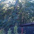 Kaceni problematickych stromu 13 buk