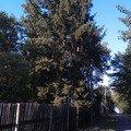 Kaceni problematickych stromu 21 smrk