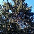 Kaceni problematickych stromu 22 smrk