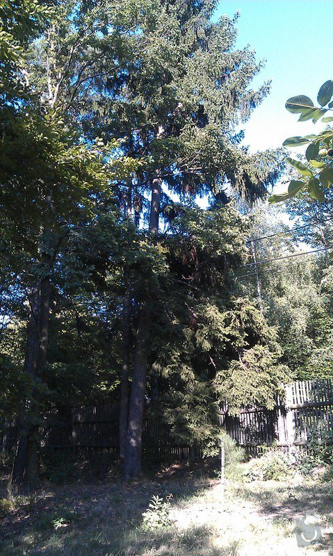 Kácení problematických stromů: 25_smrk