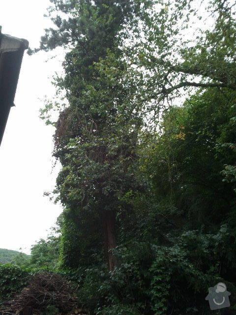 Posouzení stavu, prořezání, kácení stromů : borovice_pred