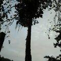 Posouzeni stavu prorezani kaceni stromu borovice