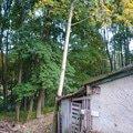 Pokaceni stromu p1020697