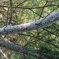 Osetreni borovice dsc 0996
