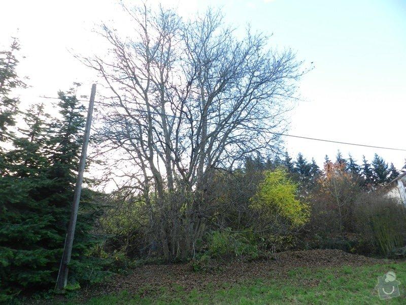 Poptávka - kácení stromu: orech