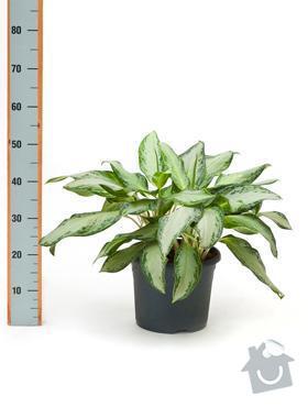 Rostliny v nádobách do interiéru: AglSilverBay