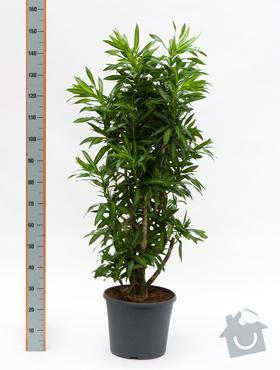 Rostliny v nádobách do interiéru: Pleomele_SoJ