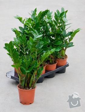 Rostliny v nádobách do interiéru: ZAmioculcas
