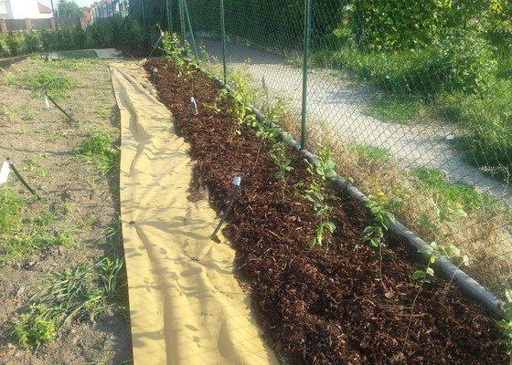 Výsadba živého plotu 60m, habr obecný