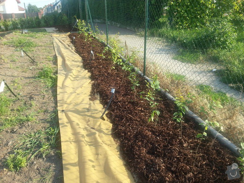Výsadba živého plotu 60m, habr obecný: 20130708_183210