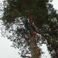 Kaceni borovice a orechu p1290051