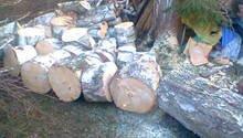 Pokácení vzrostlé břízy u chaty