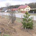 Zakladani zahrady vysadba vzrostlych stromu p1490375