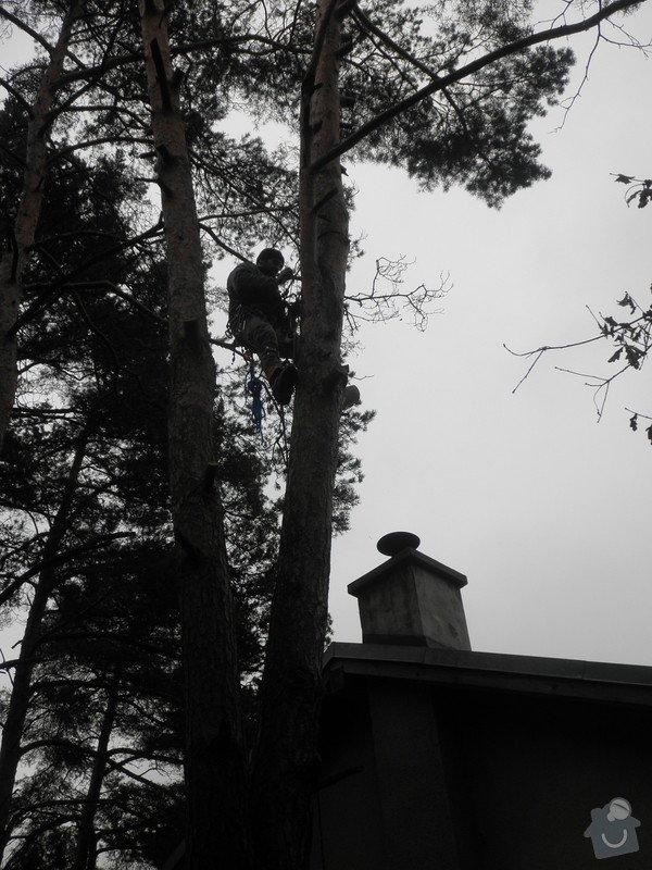Rizikové kácení borovice : P3120077