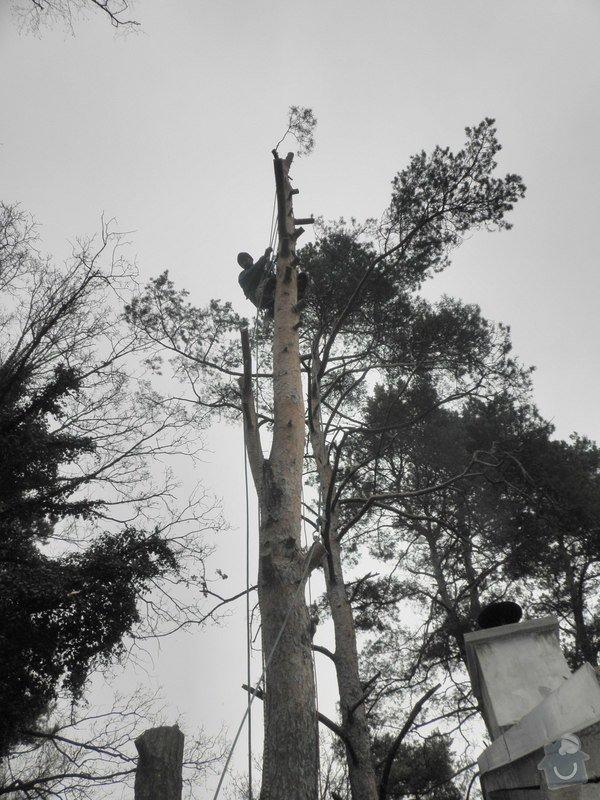 Rizikové kácení borovice : P3120078