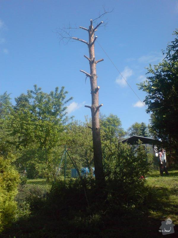 Pokácení borovice: Borovice