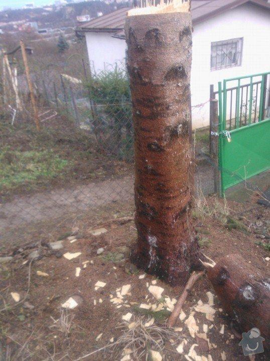Odstranění pařezů po pokácených stromech: Kozak_parez_1