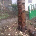 Odstraneni parezu po pokacenych stromech kozak parez 1