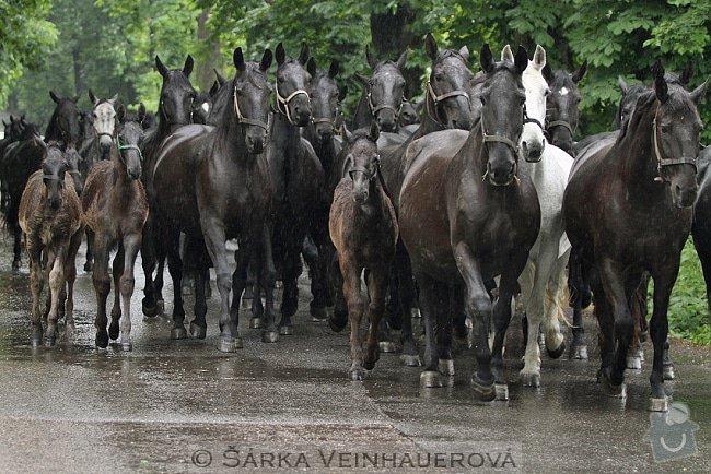 Fotografování koní: stado-starokladrubskych-klisen-210