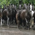 Fotografovani koni stado starokladrubskych klisen 210