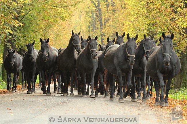 Fotografování koní: starokladrubske-stado-89