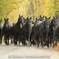 Fotografovani koni starokladrubske stado 89
