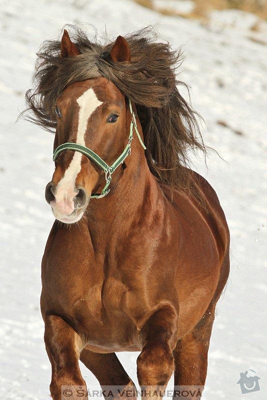 Fotografování koní: golias-368