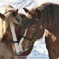 Fotografovani koni kastan a golias 382