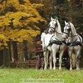 Fotografovani koni belousi s kocarem 322