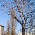 Pokaceni 3 vzrostlych stromu img 20150318 155548